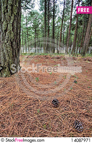 Free Pine Forest Floor Stock Image - 14087971