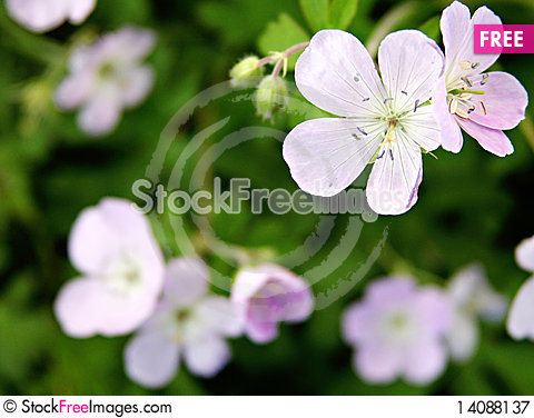 Free Little Purple Flowers Royalty Free Stock Photography - 14088137