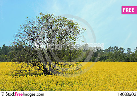 Free Rape Field In Full Bloom Stock Photos - 14088603