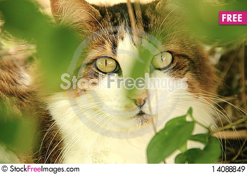 Free White And Brown Maine Coone Cat 2 Royalty Free Stock Images - 14088849