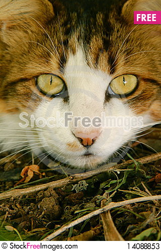 Free White And Brown Maine Coone Cat Stock Photos - 14088853