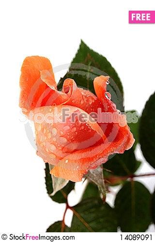 Free Pink Rose Stock Image - 14089091