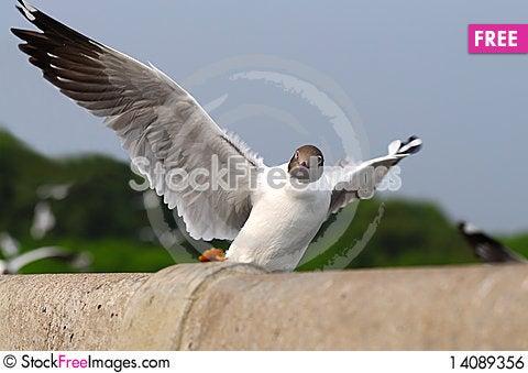 Free Sea Gull Royalty Free Stock Image - 14089356