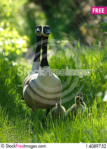 Free Barnacle Goose Stock Photography - 14089752