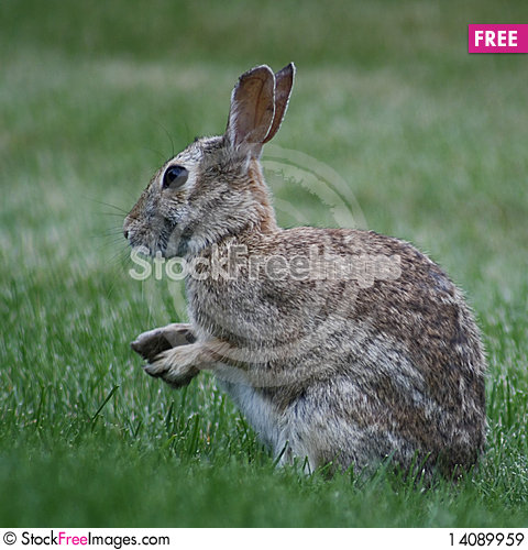Free March Hare Royalty Free Stock Images - 14089959