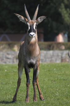 Gazing Roan Antelope Stock Images