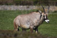 Free Roan Antelope Royalty Free Stock Photo - 14080215