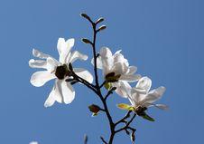 Free Magnolia White Stock Image - 14080251