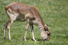 Young Nile Lechwe Feeding On Grass Stock Image
