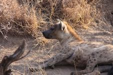 Free Spotted Hyena Royalty Free Stock Image - 14080496