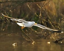 Free Lesser Black-backed Gull Royalty Free Stock Photos - 14080938
