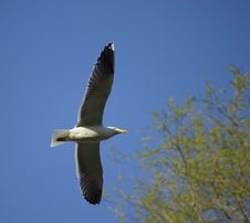 Free Lesser Black-backed Gull Royalty Free Stock Photo - 14081065