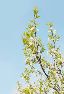 Free Blossomed Cherry And Blue Sky Royalty Free Stock Images - 14081109
