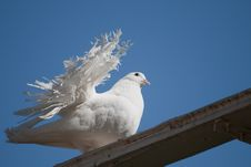 Free The Decorative White Pigeon Royalty Free Stock Image - 14081936