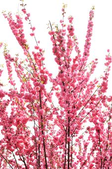 Free Flowering Tree Royalty Free Stock Photo - 14082525