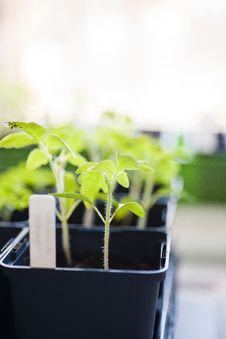 Young Tomato Plants Royalty Free Stock Images