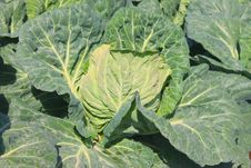 Free One Cabbage Detailed Stock Photo - 14083490