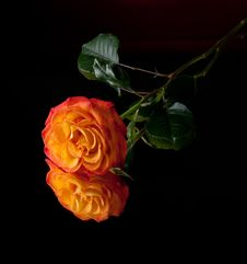 Free Orange Rose Stock Image - 14084991