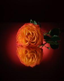 Free Rose Royalty Free Stock Photos - 14084998