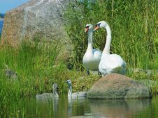 Free Mute Swans With Nestlings Stock Images - 14085604