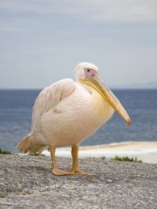 Free White Pelican In The Background Of The Sea Royalty Free Stock Images - 14086699