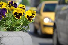 Free Pansy In Urban Area Royalty Free Stock Image - 14087866