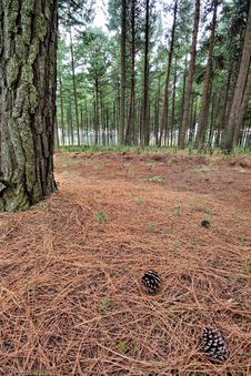 Pine Forest Floor Stock Image