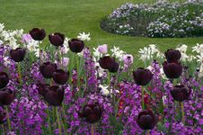 Black Tulips Flowerbed. Stock Photos