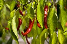 Free Red Pepper After Rain Royalty Free Stock Images - 14088309