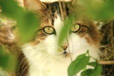 White And Brown Maine Coone Cat 2
