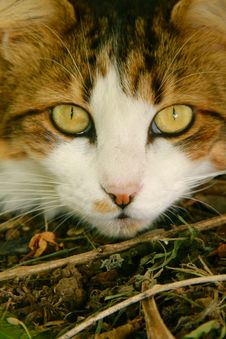 White And Brown Maine Coone Cat