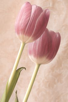 Free Two Pink Tulips Royalty Free Stock Image - 14089176