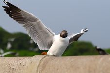 Free Sea Gull Royalty Free Stock Image - 14089356