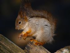 Free Red Squirrel Stock Photo - 14089530