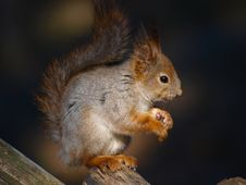 Free Red Squirrel Stock Photography - 14089532