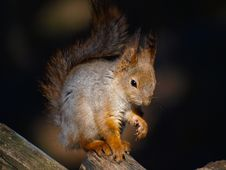 Red Squirrel Royalty Free Stock Photography