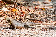 Free Iguana Stock Images - 14089554