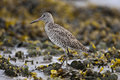 Free Willet Royalty Free Stock Photography - 14092397