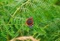 Free Red Admiral - Vanessa Atalanta Royalty Free Stock Photos - 14096018
