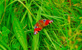 Free Peacock Butterfly - Inachis Io Royalty Free Stock Photography - 14096047