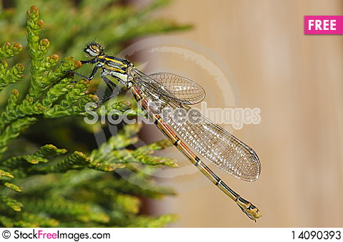 Free Banded Demoiselle Stock Photos - 14090393