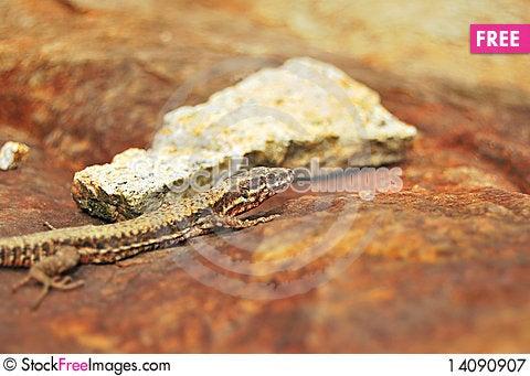 Free Lizard Royalty Free Stock Photography - 14090907
