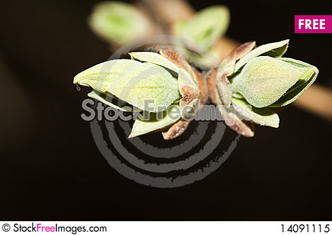 Free Blossoming Leaf Royalty Free Stock Photo - 14091115
