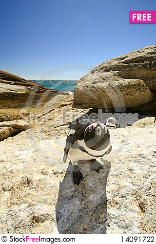 Free Penguin Looking In The Camera Stock Photography - 14091722