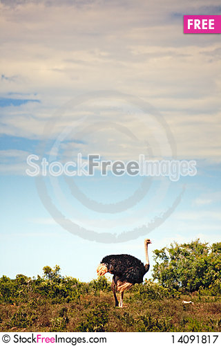 Free Ostrich Walking In Field, South Africa Royalty Free Stock Photography - 14091817