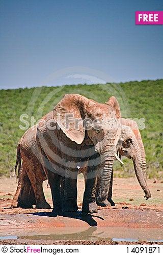 Free Elephant Drinking At Pool Stock Image - 14091871
