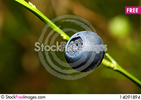 Free Bilberry Stock Images - 14091894