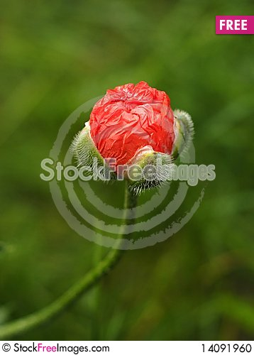 Free Red Poppies Stock Photo - 14091960
