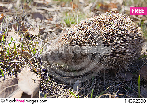 Free Beautiful Asian Hedgehog. Stock Photo - 14092000