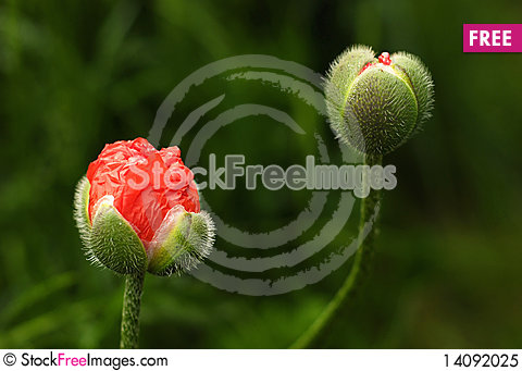 Free Blooming Poppies Royalty Free Stock Photo - 14092025